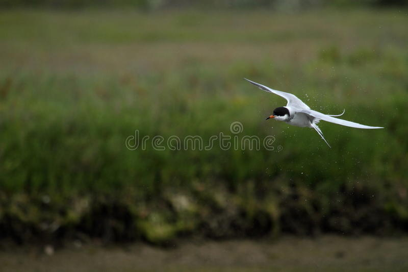 在飞行中北极燕鸥 库存照片