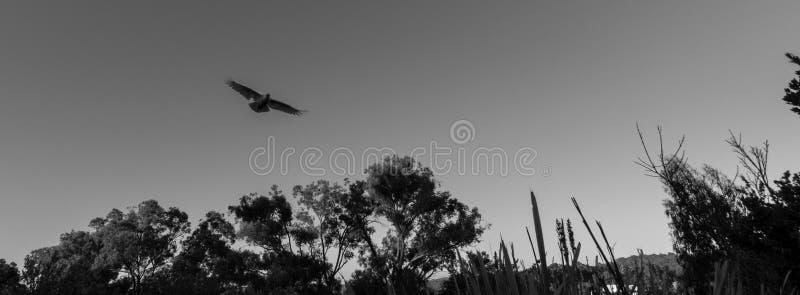 在飞行中单色硫磺有顶饰美冠鹦鹉 图库摄影