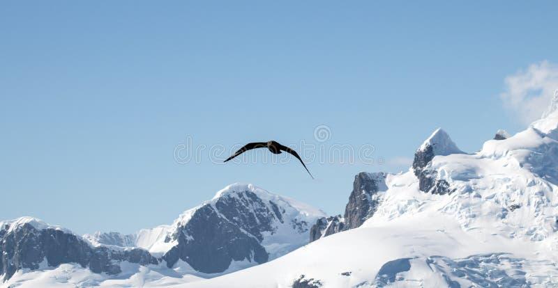 在飞行中南极的贼鸥 图库摄影