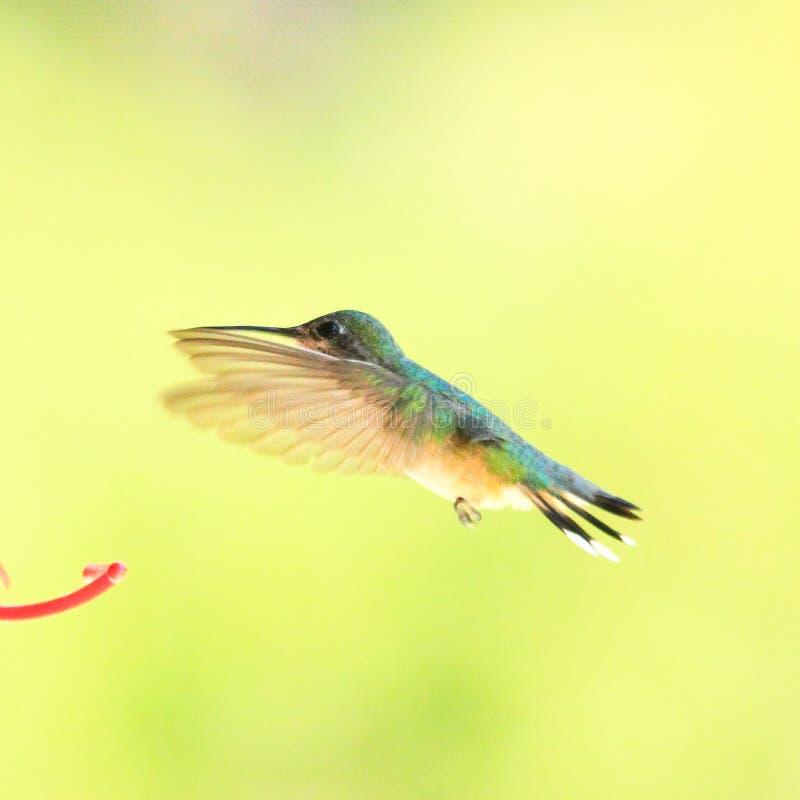 在飞行中哼唱着鸟 库存照片
