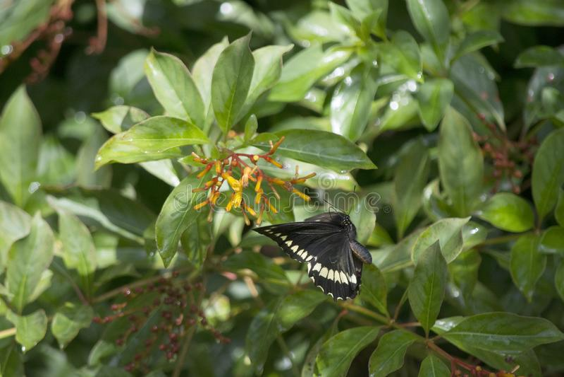 在飞行中在猩红色Firebush附近的Pipevine Swallowtail在一个南部的佛罗里达庭院里 图库摄影