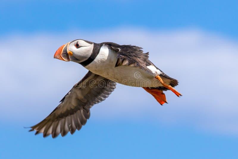 在飞行中大西洋海鹦 免版税库存照片