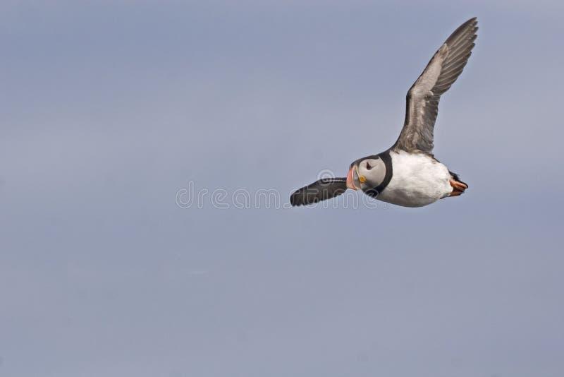 在飞行中大西洋海鹦 库存照片
