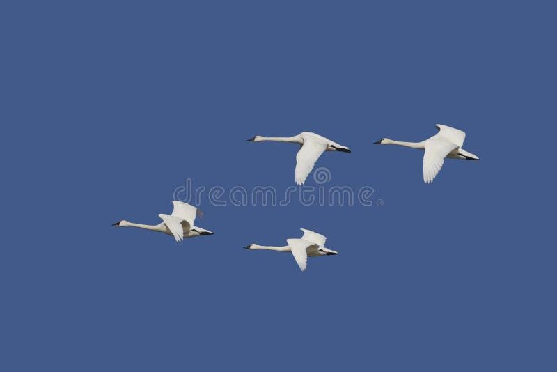 在飞行中寒带苔原天鹅 库存照片