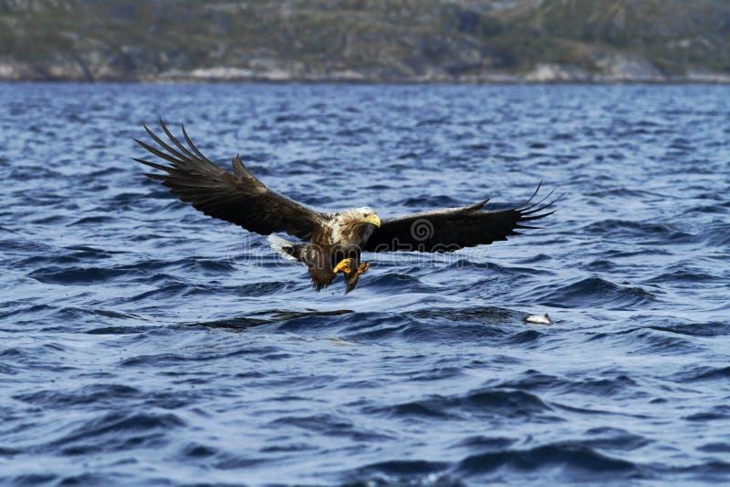 在飞行中寻找从海,挪威,Haliaeetus albicilla,与大爪的庄严海鹰的白被盯梢的老鹰鱼 免版税库存图片