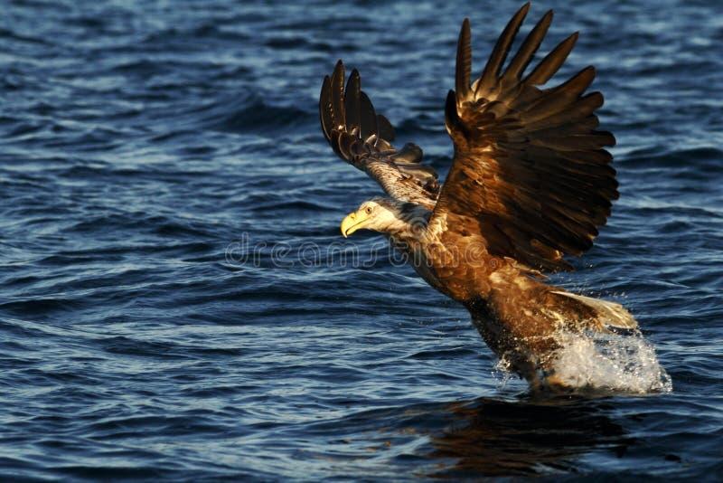 在飞行中寻找从海,挪威,Haliaeetus albicilla,与打算大的爪的庄严海鹰的白被盯梢的老鹰鱼捉住 库存照片