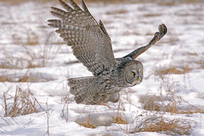 在飞行中巨大灰色猫头鹰 图库摄影