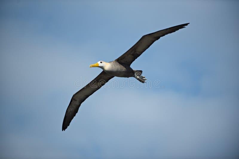 在飞行中挥动的信天翁Phoebastria irrorata 库存图片