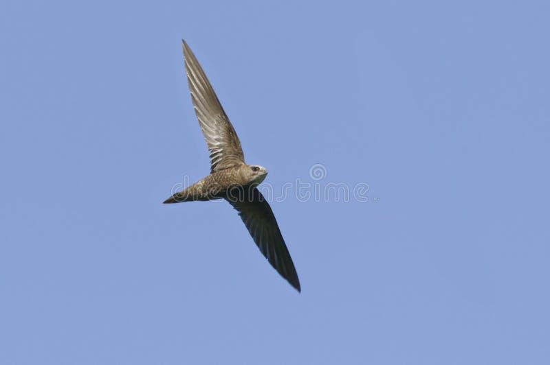 在飞行中无生气的快速- Apus pallidus - Pyrénées-Orientales,法国 免版税库存图片
