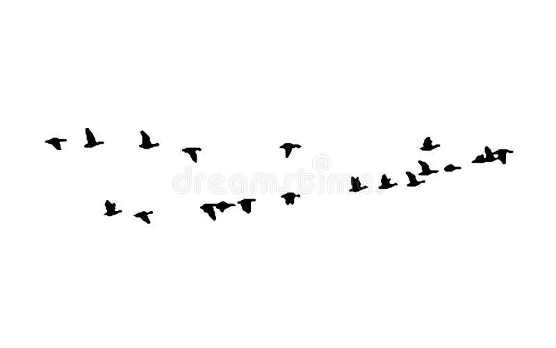 在飞行中更加伟大的白朝向的鹅楔子 传染媒介剪影鸟群  向量例证