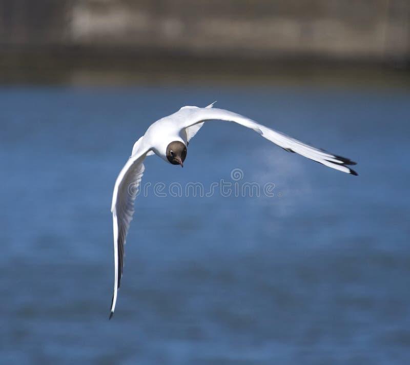 在飞行中海鸥鸟 免版税库存照片