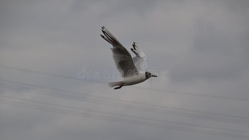 在飞行中海鸥鸟 图库摄影