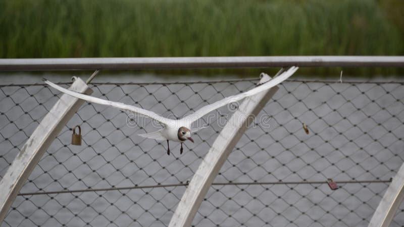 在飞行中海鸥鸟 库存照片