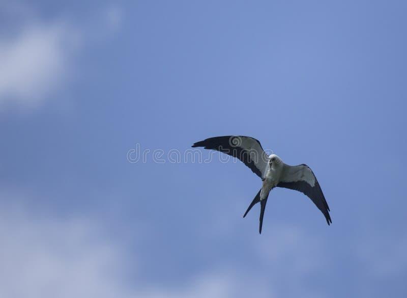 在飞行中燕尾状风筝 库存照片