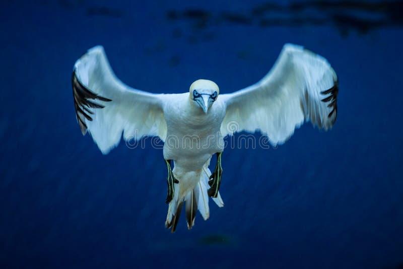在飞行中登陆对巢的北Gannet桑属bassanus 免版税库存图片