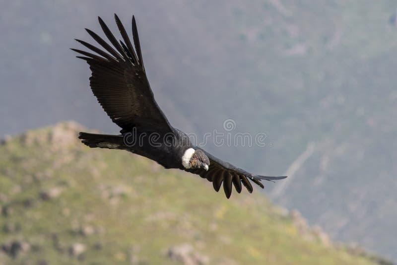 在飞行中神鹰 库存图片