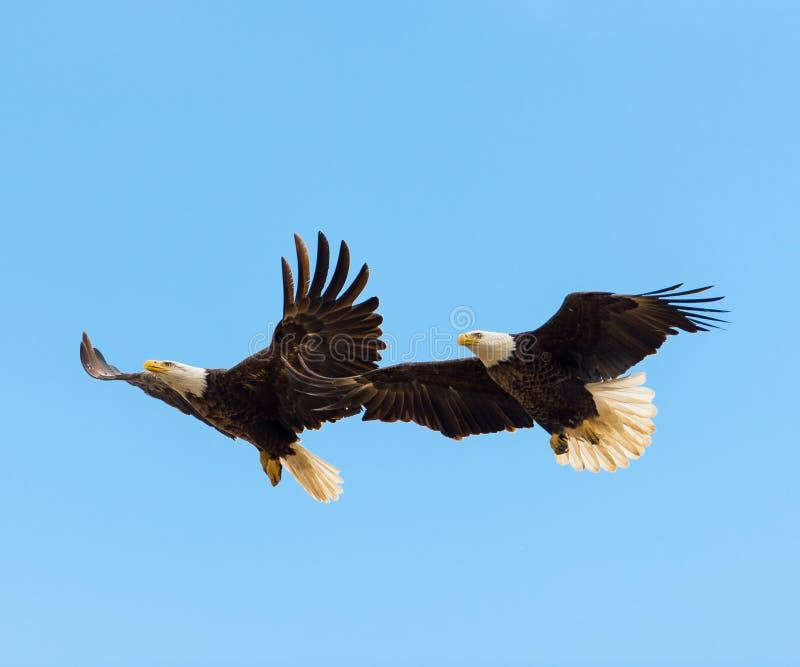 在飞行中秃头老鹰乐队 免版税库存图片