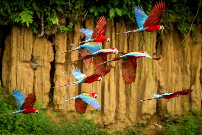 在飞行中红色鹦鹉群  金刚鹦鹉飞行,绿色植被在背景中 红色和绿色金刚鹦鹉在热带森林,秘鲁里 免版税库存照片