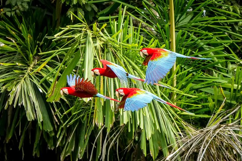 在飞行中红色鹦鹉群  金刚鹦鹉飞行,绿色植被在背景中 红色和绿色金刚鹦鹉在热带森林,秘鲁,野生生物里 免版税图库摄影