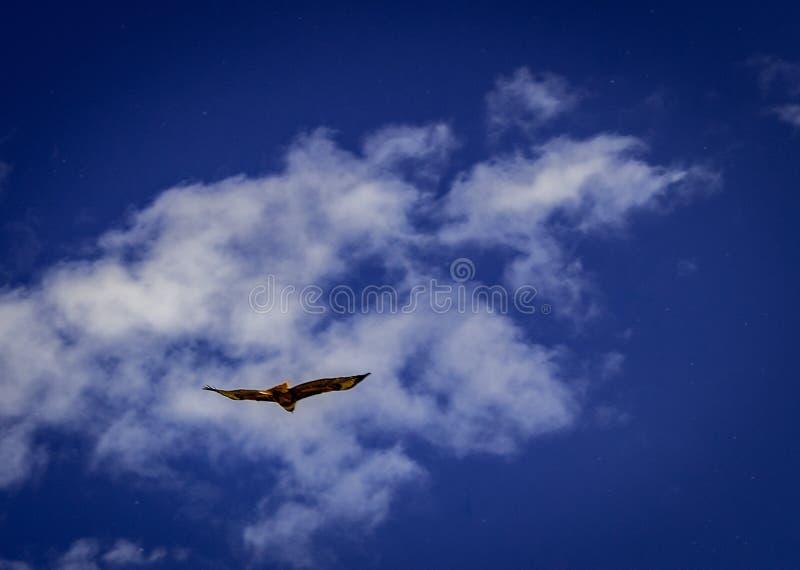 在飞行中美丽的红色被盯梢的鹰 图库摄影