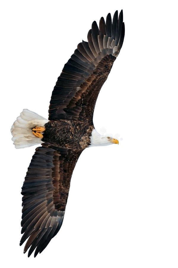 在飞行中美丽的美国白头鹰,聚焦,反对白色背景 免版税库存照片