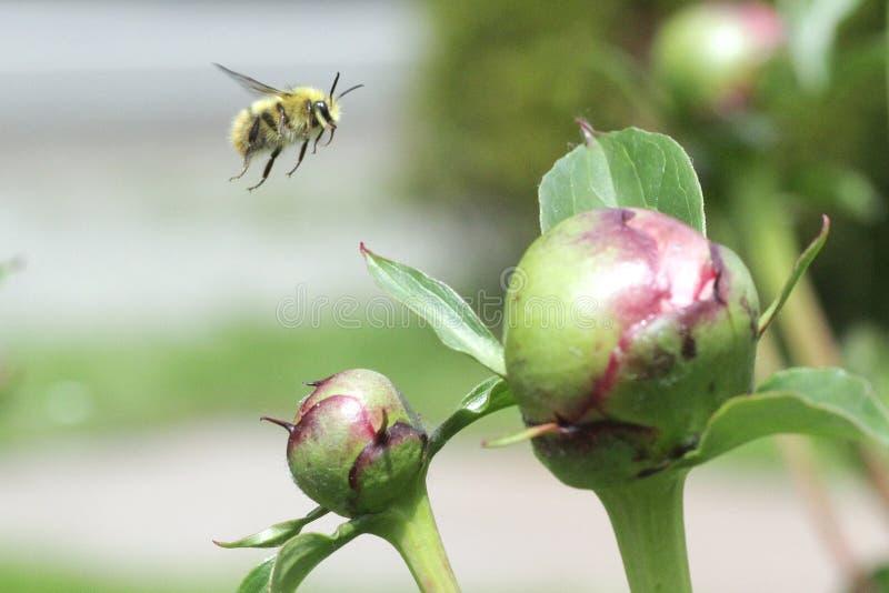 在飞行中蜂方法 库存照片
