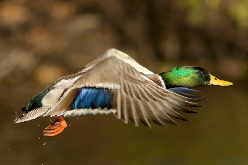 在飞行中野鸭鸭子 库存照片