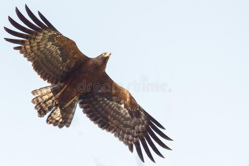 在飞行中非洲猎兔犬鹰 免版税库存图片