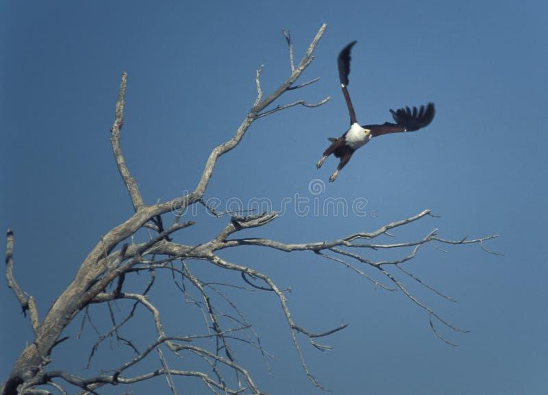 在飞行中非洲鱼鹰Haliaeetus vocifer 免版税库存图片