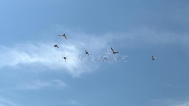 在飞行中鸽子牧群  库存图片