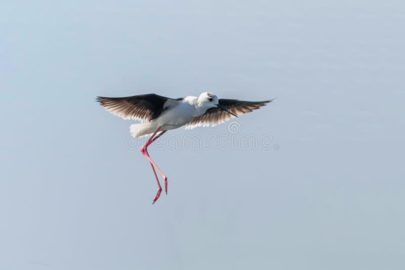在飞行中黑飞过的高跷Himantopus himantopus趟水者鸟飞行 库存图片