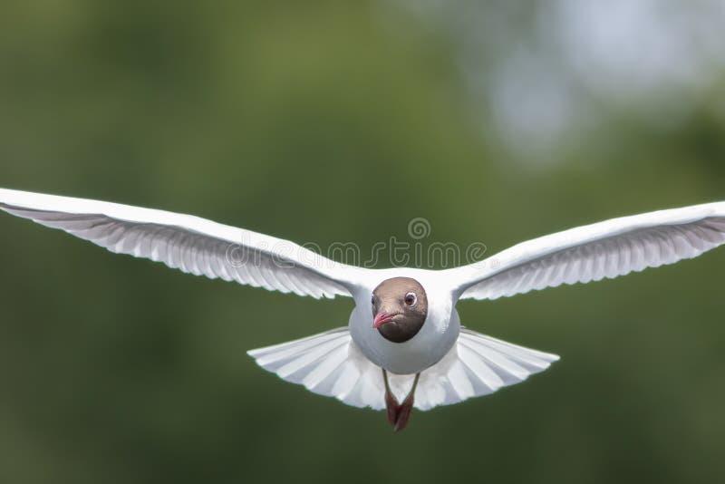 在飞行中黑带头的鸥头 飞行往照相机 免版税库存照片