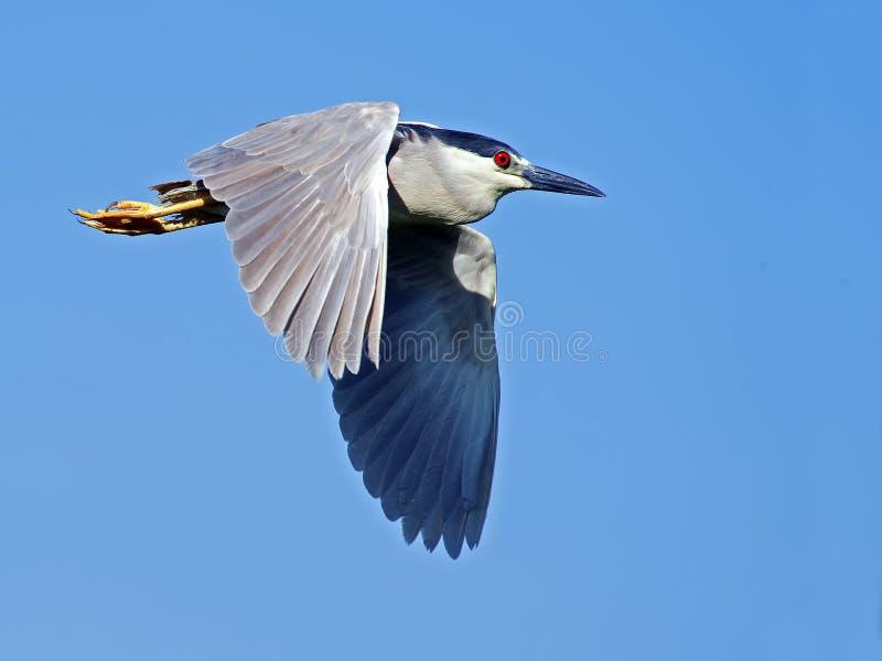 在飞行中黑被加冠的夜鹭属 免版税图库摄影