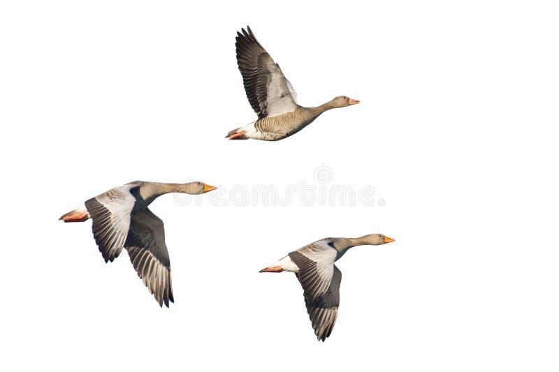 在飞行中Greylag鹅 免版税库存图片