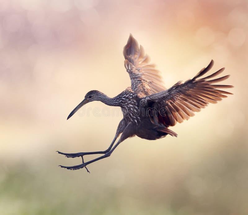 在飞行中Limpkin鸟 免版税库存照片