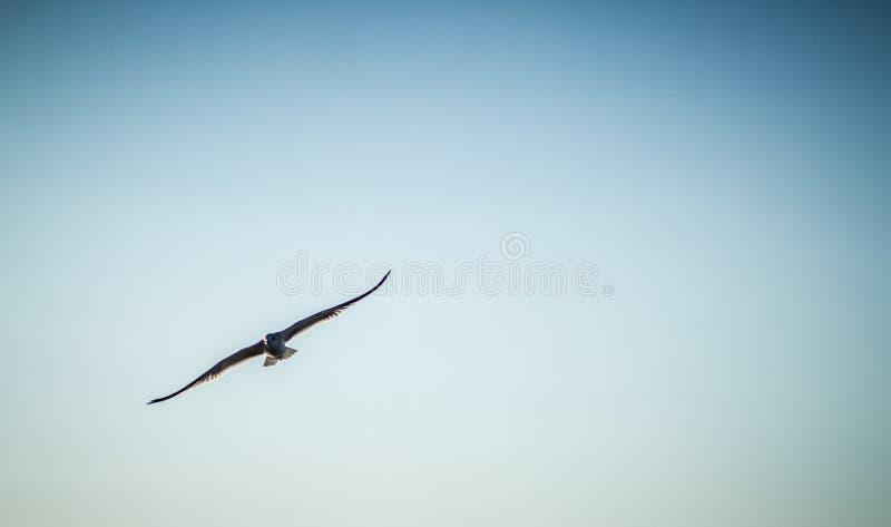 在飞行中Seagul 免版税图库摄影