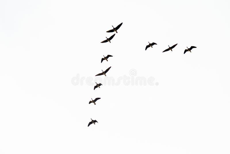 在飞行期间的野生鹅 库存图片