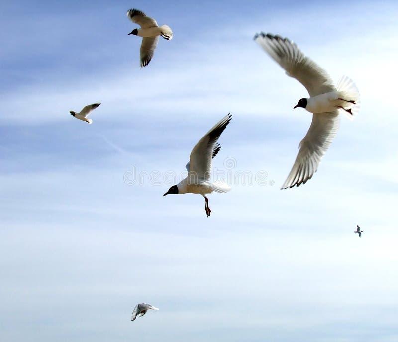 在飞行海鸥Th之上 免版税库存图片