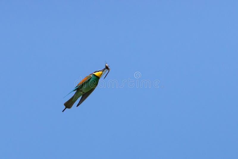在飞行狩猎的欧洲食蜂鸟在蜻蜓 免版税库存图片