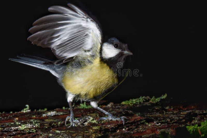在飞行的大山雀鸟 免版税库存图片