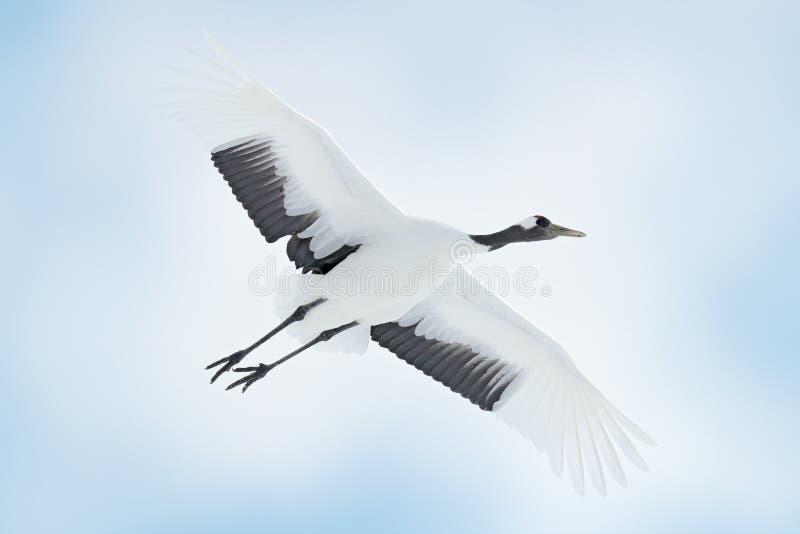 在飞行的日本起重机 在天空的鸟 从自然的野生生物场面 免版税库存图片