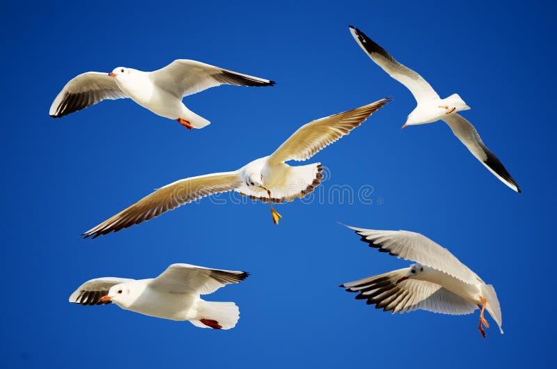 在飞行的海鸥 免版税库存照片