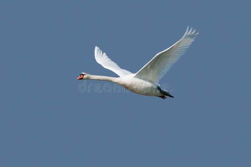 在飞行的疣鼻天鹅 免版税图库摄影