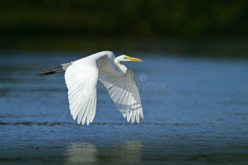 在飞行的白色苍鹭 野生生物在佛罗里达,美国 在飞行中水禽 飞行苍鹭在绿色森林栖所 从na的行动场面 免版税库存图片