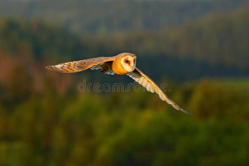 在飞行的美丽的鸟 好的晚上太阳 谷仓猫头鹰,在飞行中好的轻的鸟,在草,伸出翼,行动野生生物sc 免版税图库摄影