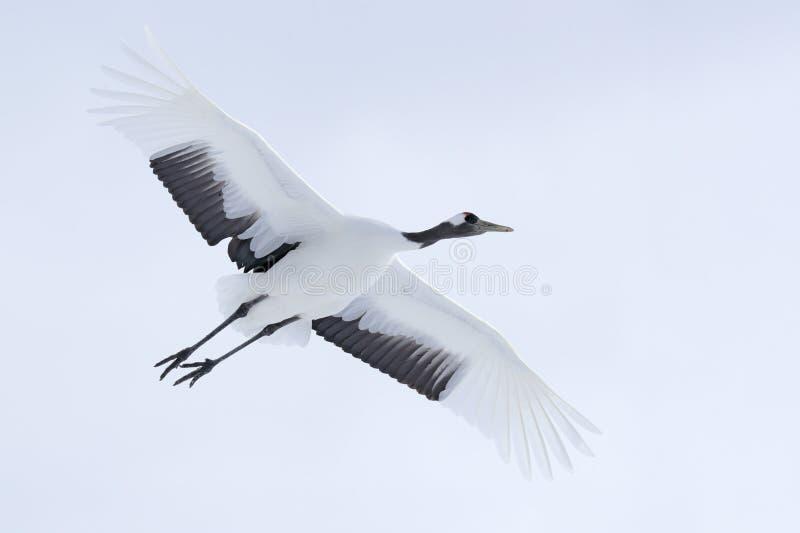 在飞行的起重机 飞行的白色鸟红加冠了起重机,粗碎屑japonensis,与开放翼,有雪风暴的,北海道,日本 野生生物sc 免版税图库摄影