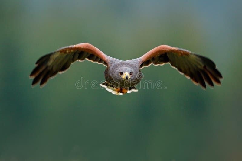 在飞行的鸟 哈里斯鹰, Parabuteo unicinctus,登陆 从自然的野生生物动物场面 鸟,面孔flyght 飞行鸷 免版税库存照片