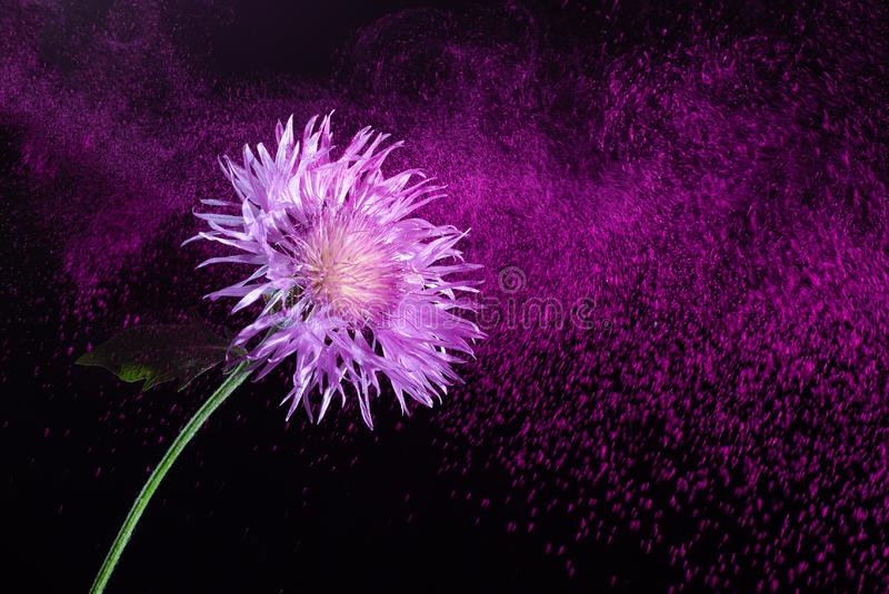 在飞行紫色尘土背景的美丽的花  库存照片