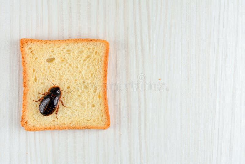 在食物的蟑螂在厨房里 库存图片
