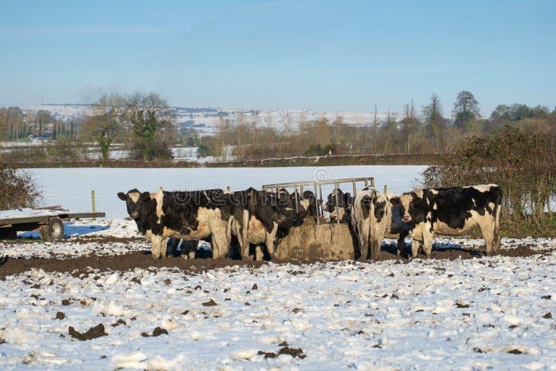 在饲养者的霍尔斯坦母牛在雪 图库摄影